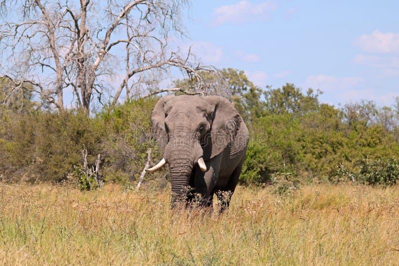 AFRIKANSK ELEFANT PÅ SAVANNET MED DET DÖDA TRÄDET I BAKGRUNDEN arkivfoto