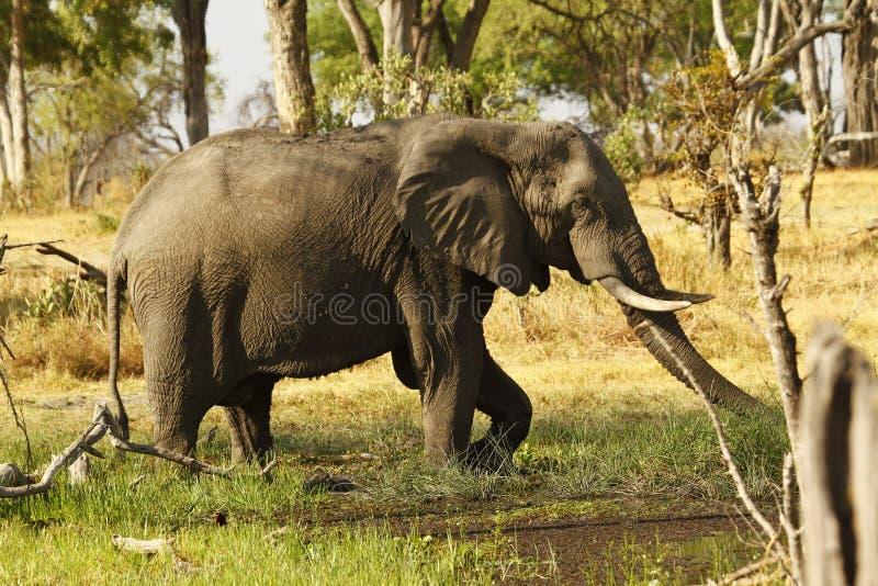 Afrikansk elefant som äter mineraler royaltyfri fotografi