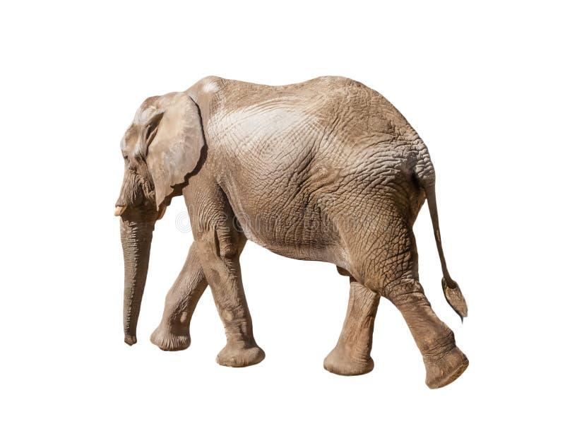 Afrikansk elefant som bort går, flyttar sig eller går arkivbilder