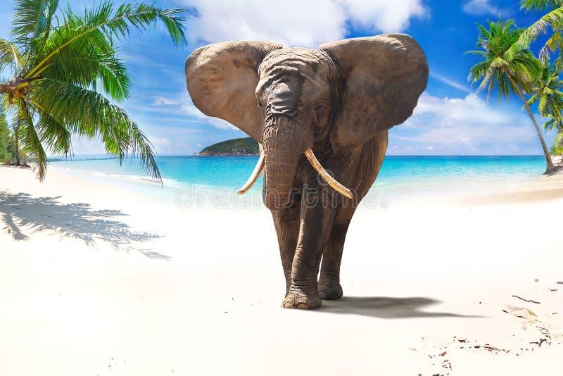 Afrikansk elefant som går på stranden arkivbild