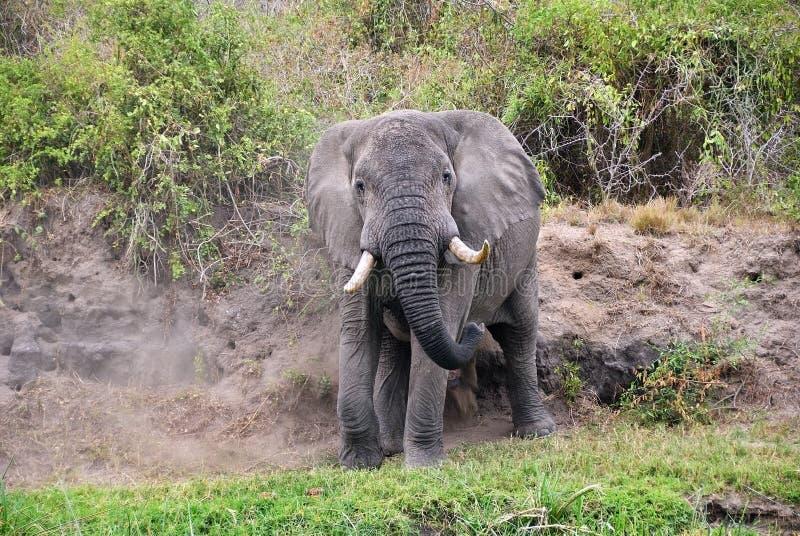Afrikansk elefant, Uganda, Afrika arkivfoto