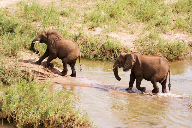 afrikansk elefantflod två som vadar arkivfoto