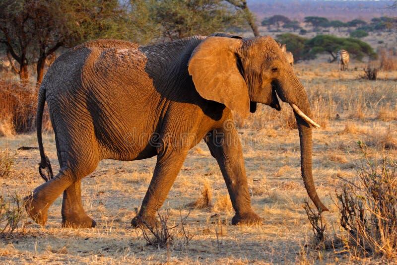 afrikansk elefantkvinnligtanzania tarangire royaltyfri bild