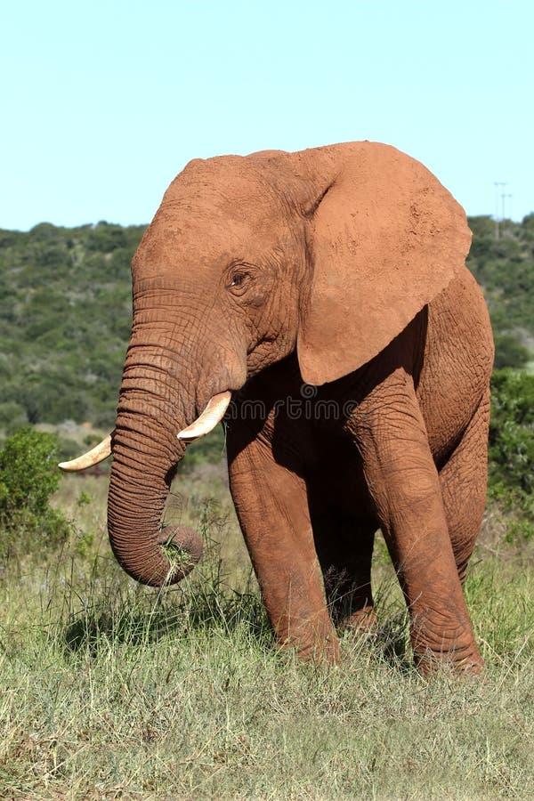 afrikansk elefantmanlig royaltyfria bilder
