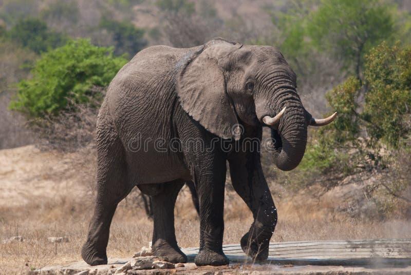 afrikansk elefantmanlig royaltyfri foto