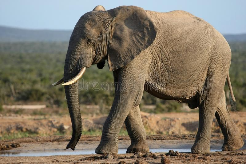 afrikansk elefantwaterhole royaltyfri fotografi