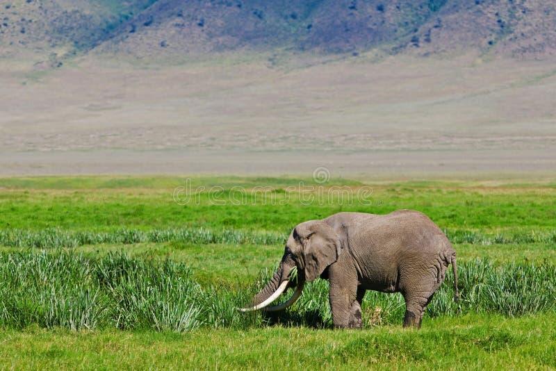 afrikansk enorm tjurelefant royaltyfri fotografi