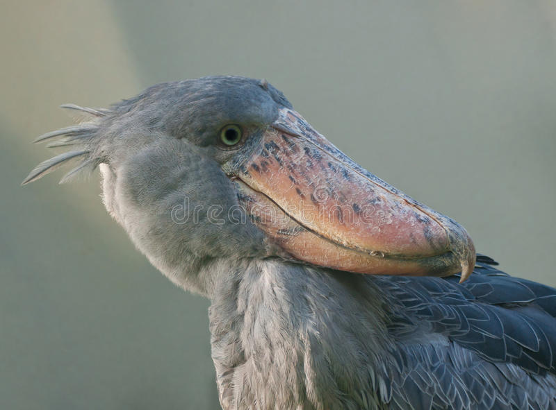 afrikansk fågelshoebill royaltyfria bilder