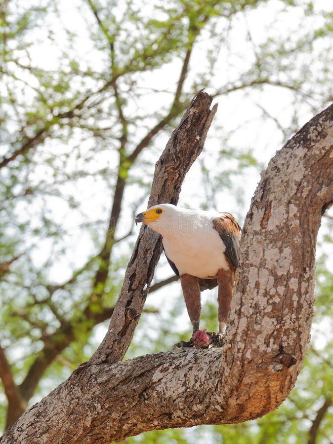 Afrikansk fisk Eagle i äta för träd arkivbild
