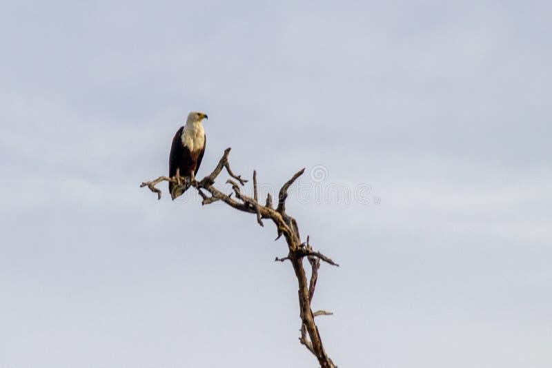 Afrikansk fisk Eagle i ett tr?d royaltyfria bilder