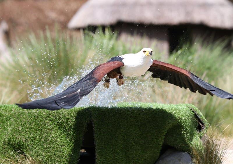 Afrikansk fisk Eagle som fångar mat royaltyfri fotografi