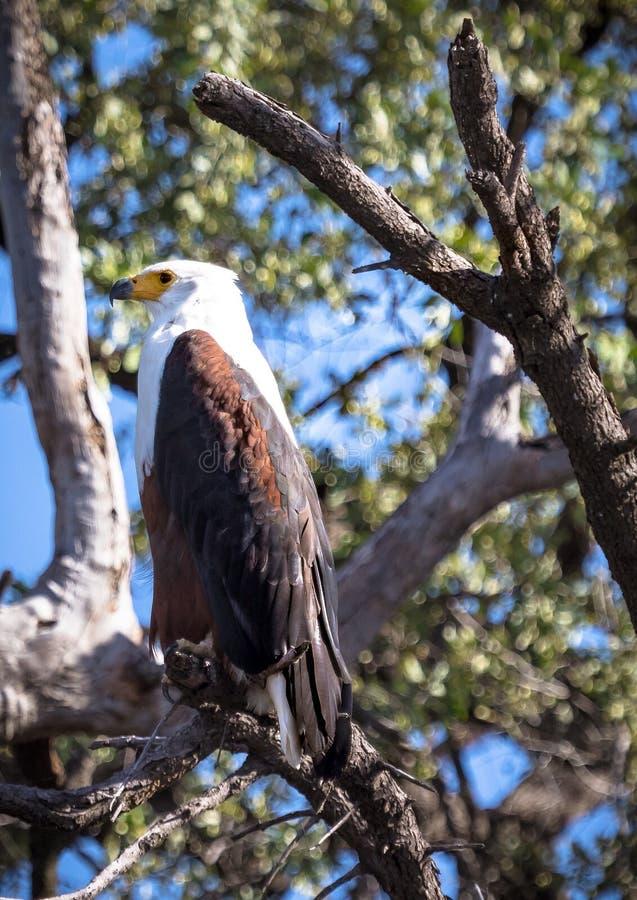 Afrikansk fisk Eagle som sitter på ett träd nära den Chobe floden i Botswana arkivbilder