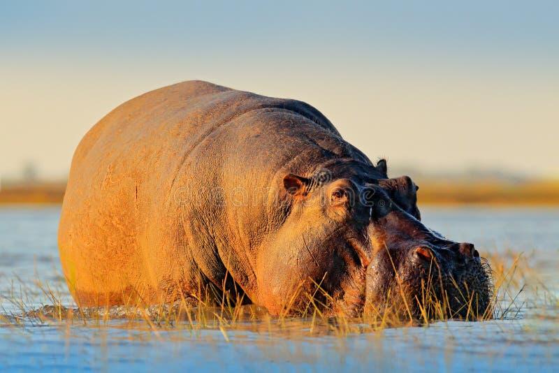 Afrikansk flodhäst, flodhästamphibiuscapensis, med aftonsolen, Chobe flod, Botswana Faradjur i vattnet, flodhäst royaltyfri fotografi