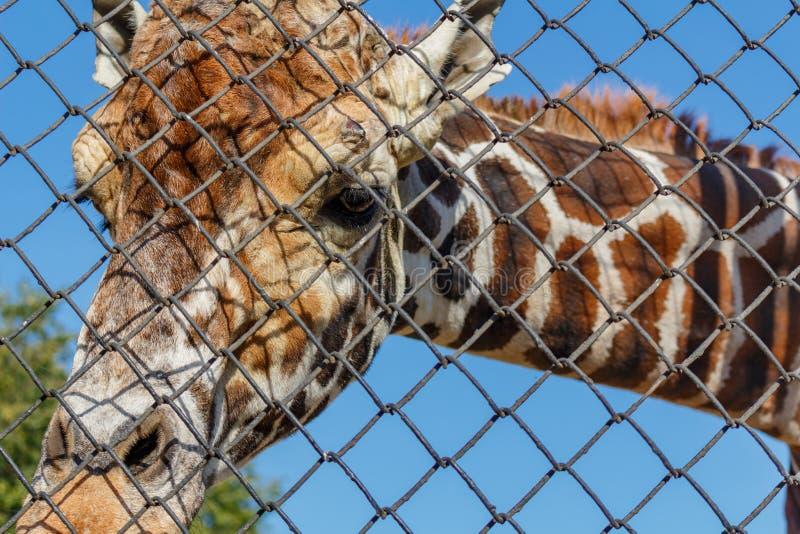 Afrikansk giraff i en bilaga på zoo giraffa för 2 camelopardalis arkivfoton