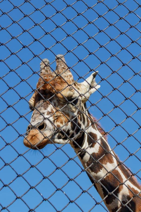 Afrikansk giraff i en bilaga på zoo giraffa för 2 camelopardalis royaltyfri foto