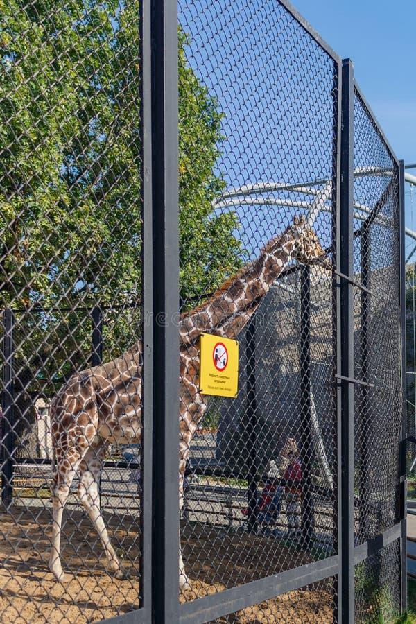 Afrikansk giraff i en bilaga på zoo giraffa för 2 camelopardalis royaltyfria foton