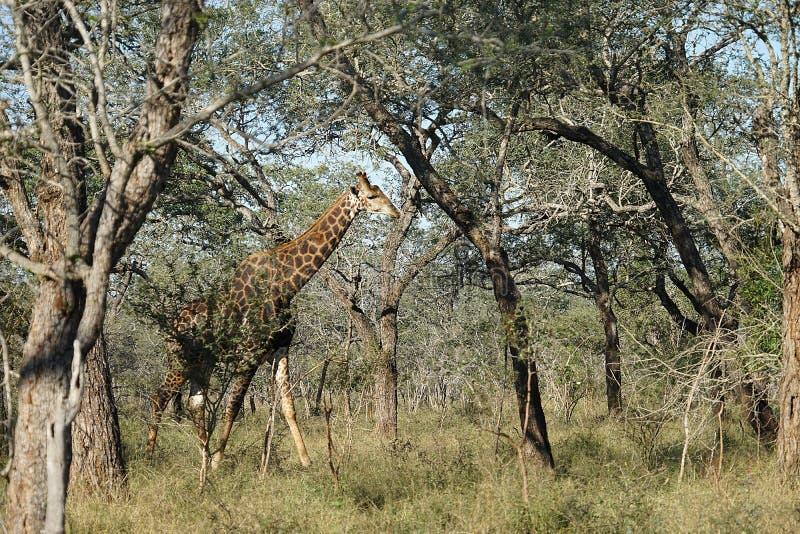 Afrikansk giraffKruger nationalpark royaltyfria bilder