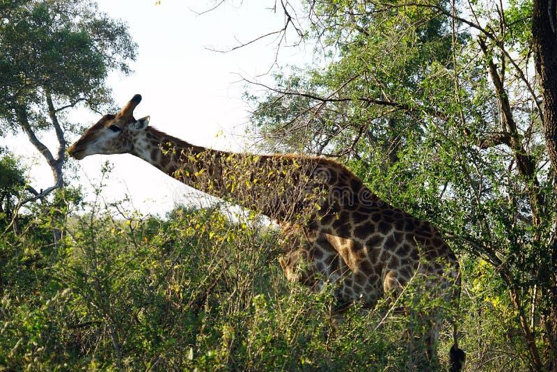 Download Afrikansk GiraffKruger Nationalpark Bara I Vildmarken Fotografering för Bildbyråer - Bild av angus, safari: 106838331