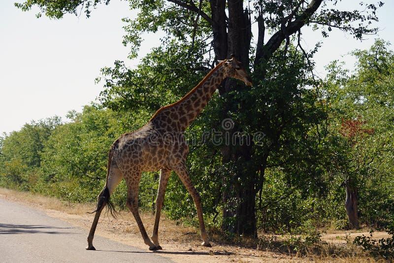Afrikansk giraffKruger nationalpark bara i vildmarken royaltyfri bild