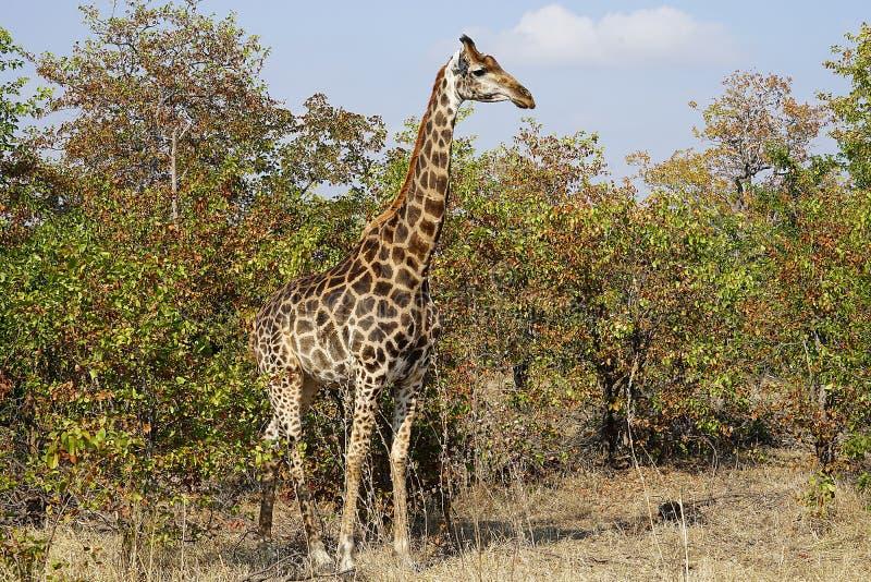 Download Afrikansk GiraffKruger Nationalpark I Vildmarkhuvudet Fotografering för Bildbyråer - Bild av kruger, illustration: 106838383