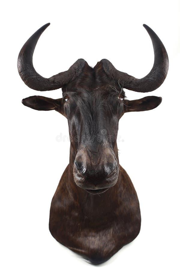 afrikansk gnu royaltyfria foton