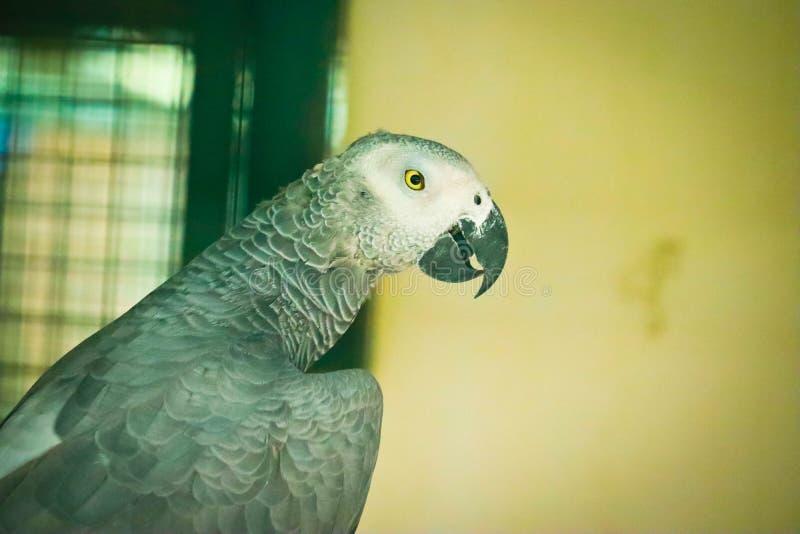afrikansk gr? papegoja arkivfoton