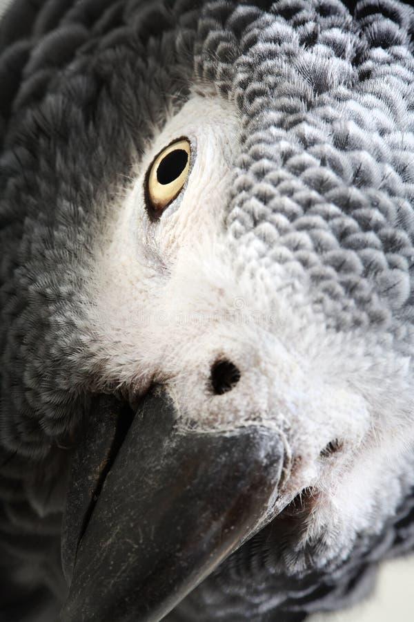 afrikansk grey isolerad papegojawhite arkivfoton
