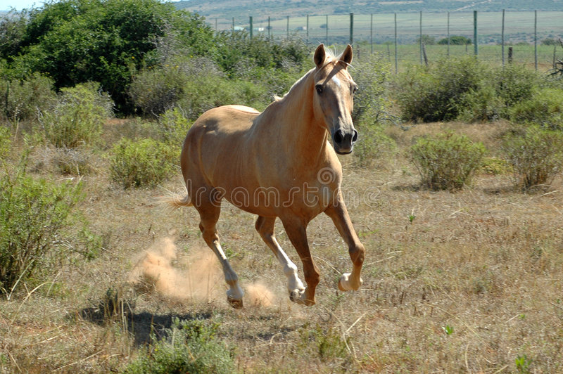 afrikansk hästrunning royaltyfria bilder
