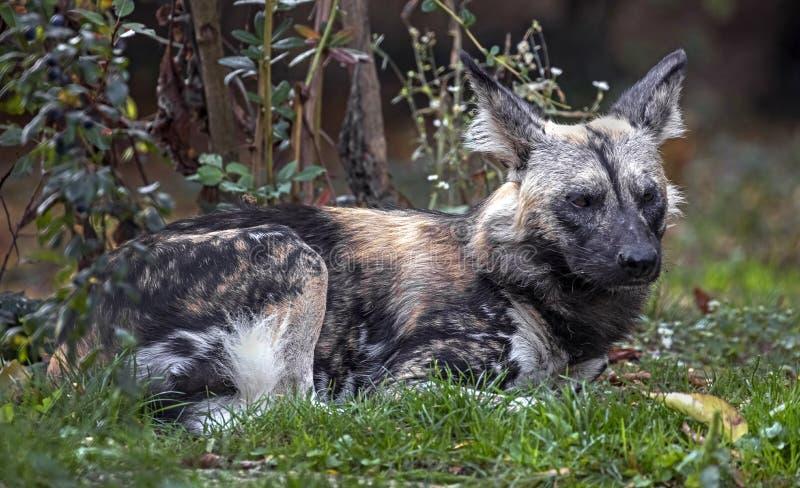 afrikansk hundjakt fotografering för bildbyråer