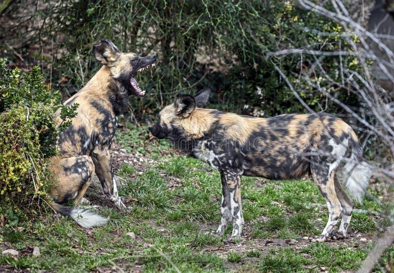 afrikansk hundjakt royaltyfria bilder