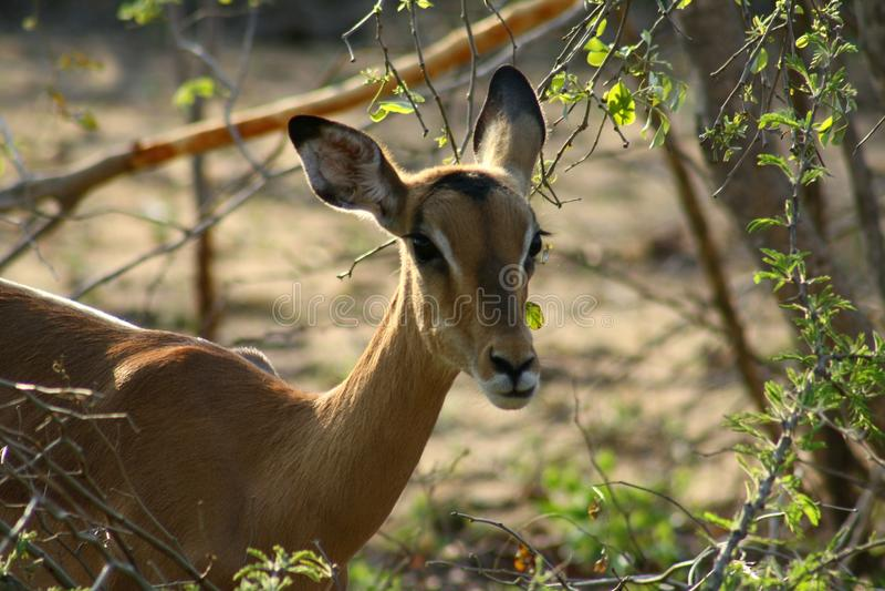 Afrikansk impalacloseup i savannet royaltyfri foto