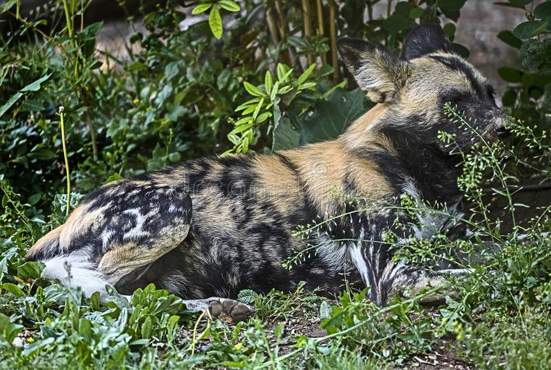 Afrikansk jakthund i busken royaltyfria foton
