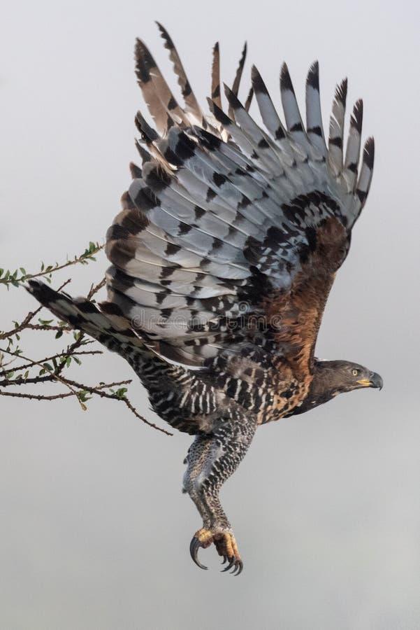 Afrikansk krönad örn som tar av från filial royaltyfria foton