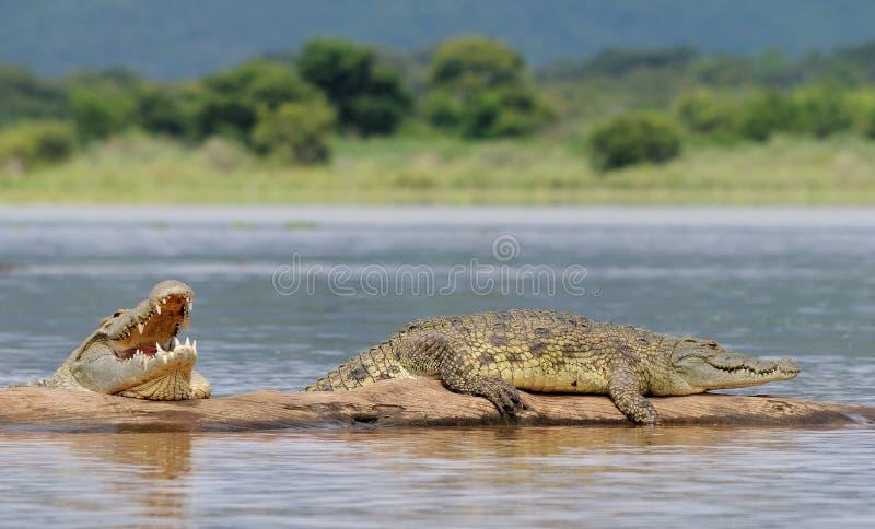 afrikansk krokodil arkivfoto