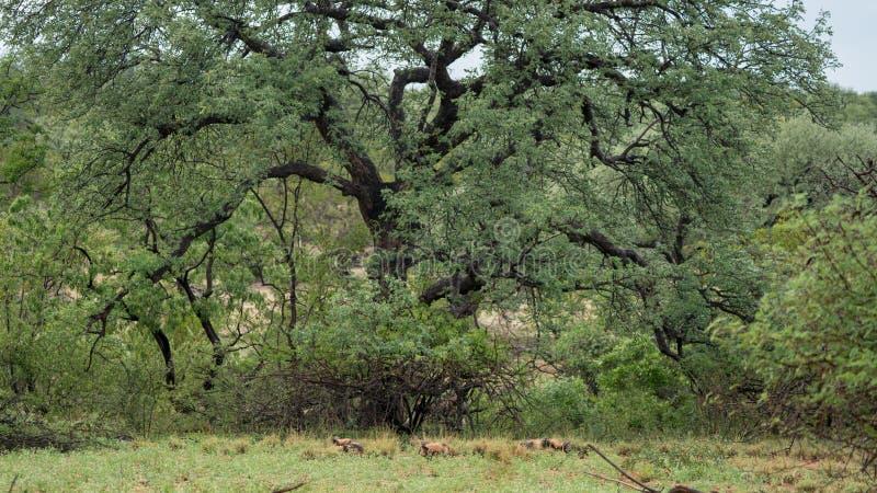 Afrikansk lös hundkapplöpning i Sydafrika arkivfoto