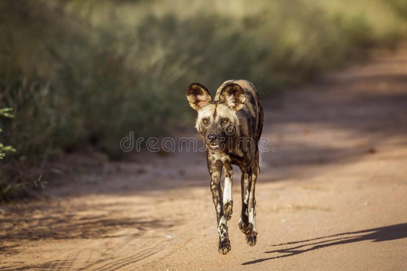 Afrikansk l?s hund i den Kruger nationalparken, Sydafrika royaltyfria bilder