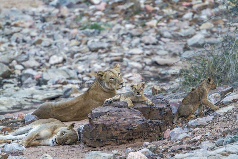 Afrikansk lejonfamilj i den Kruger nationalparken, Sydafrika fotografering för bildbyråer