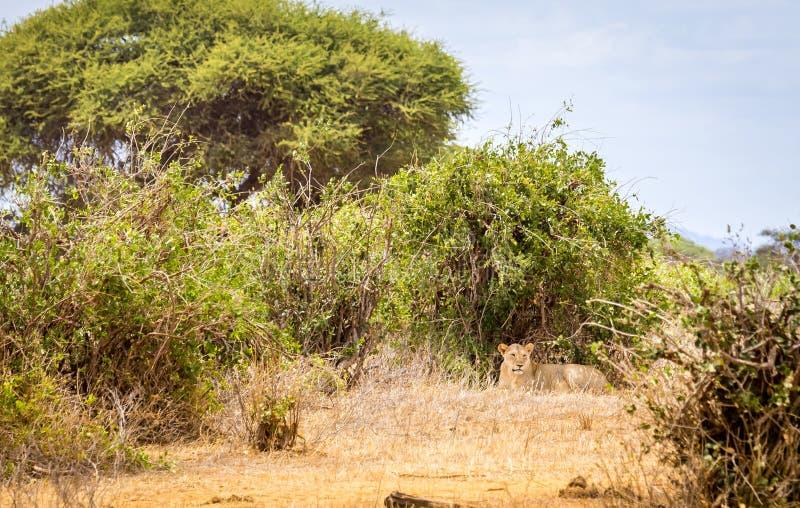 Afrikansk lejoninna i Kenya arkivbilder