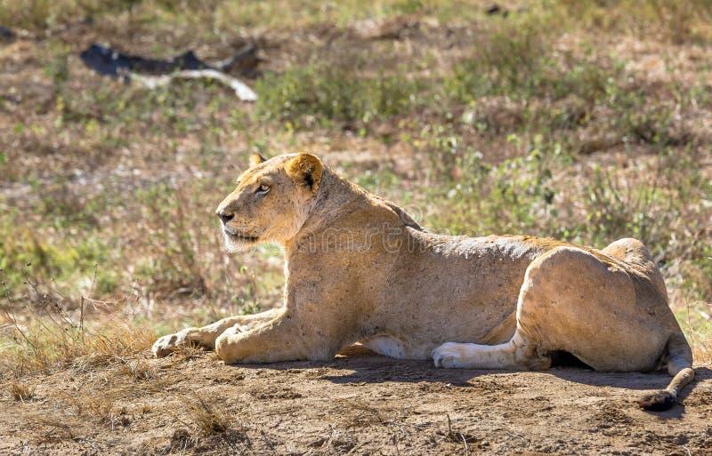 Afrikansk lejoninna i Kenya royaltyfri fotografi