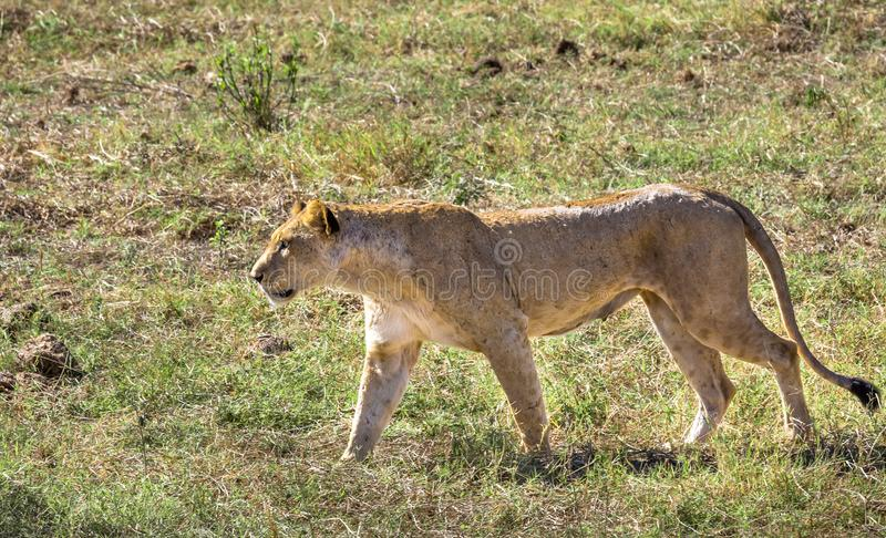 Afrikansk lejoninna i Kenya arkivbild