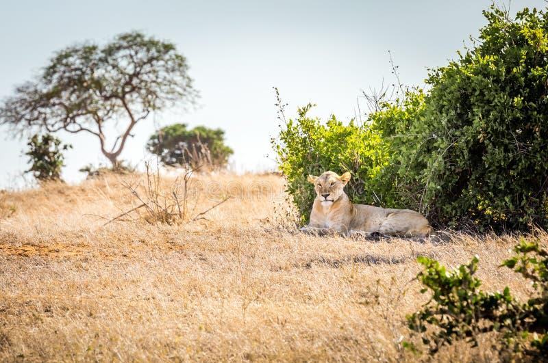 Afrikansk lejoninna i Kenya royaltyfria bilder