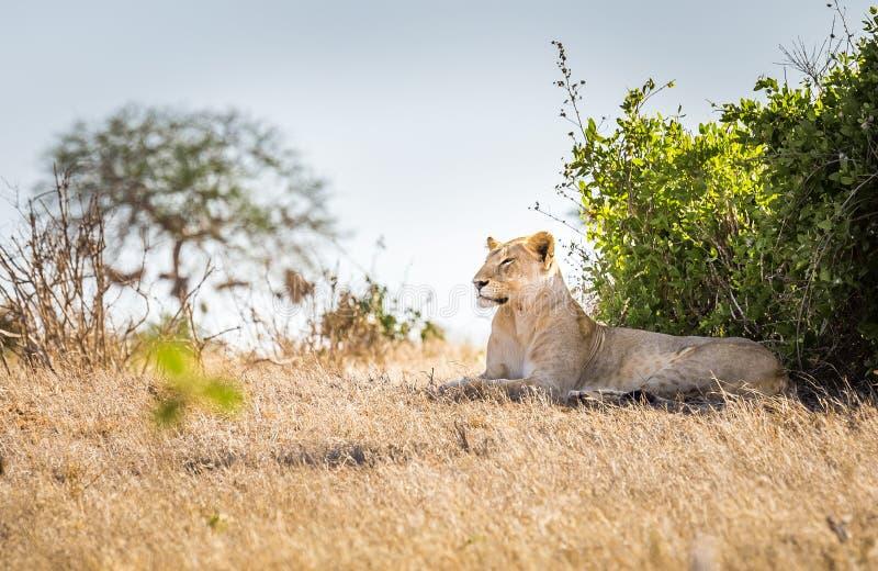 Afrikansk lejoninna i Kenya arkivfoto
