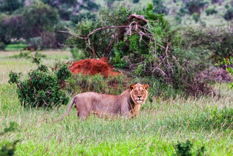 Afrikansk lejoninna på masaien mara Kenya arkivbilder
