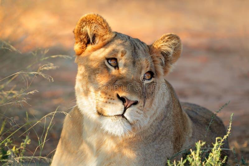 Afrikansk lejoninnastående royaltyfri foto
