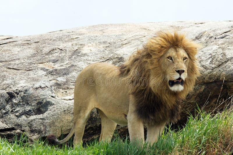 Download Afrikansk leo lionpanthera arkivfoto. Bild av safari - 19776756