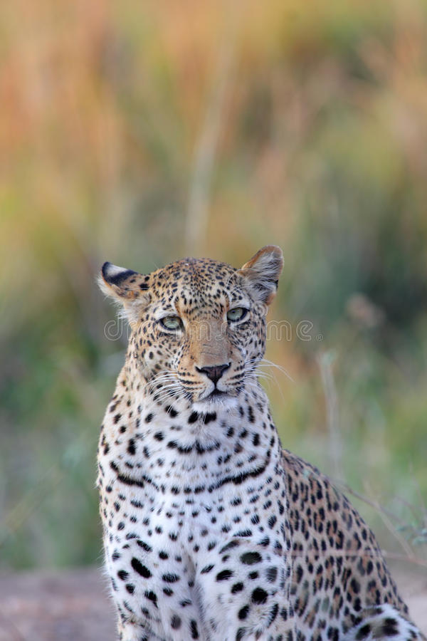 afrikansk leopard arkivbilder