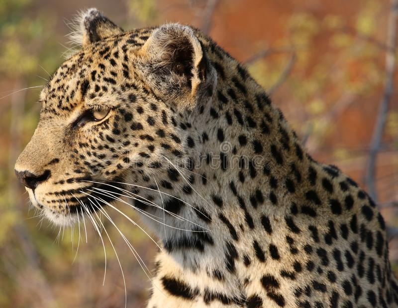 Afrikansk leopard på den Kruger nationalparken arkivfoto