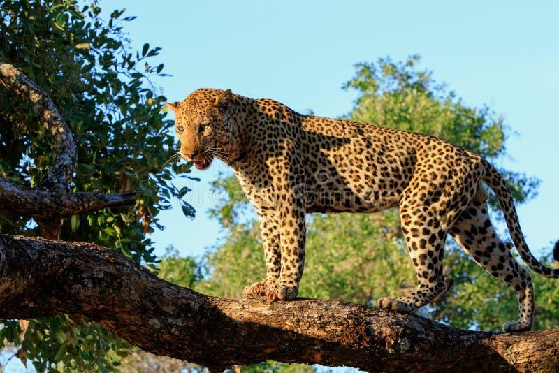 Afrikansk leopard som upptill står av ett träd som ser, med en ljus blå himmel- och trädbakgrund i den södra Luangwa nationalpark royaltyfri foto