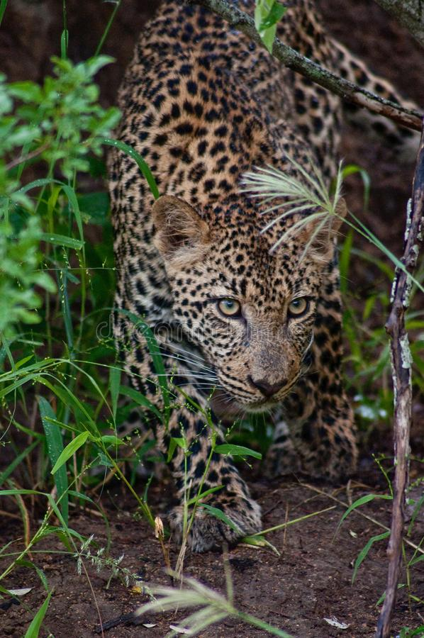 Afrikansk leopardjakt i grönt gräs royaltyfria bilder