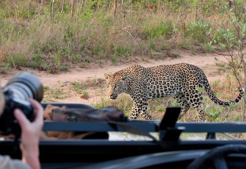 afrikansk leopardsafari royaltyfri bild